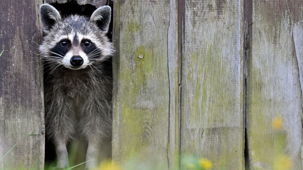Raccoons are not picky when it comes to finding shelter.