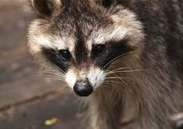 Raccoons will often travel alone.