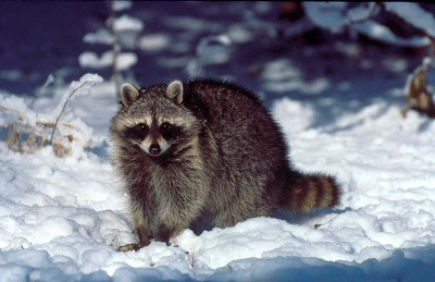 Raccoons do not store food for the winter, instead they eat enough food to last through winter.