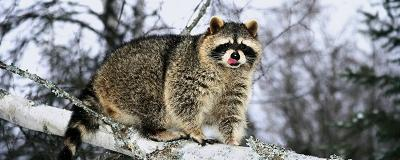 Raccoons will remain active throughout winter but may sleep for days at a time.
