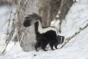 If you hear a skunk hiss or stomp, do not approach it.