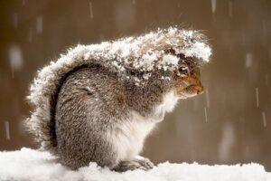 Squirrels sleep more during winter making them harder to detect in your attic.