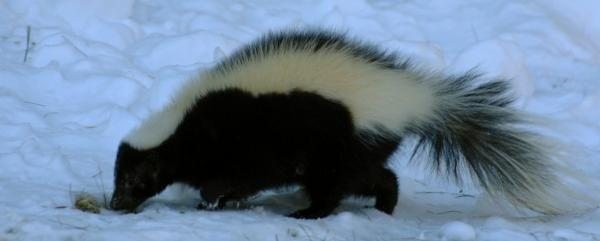Skunks can sleep long periods without food during winter.