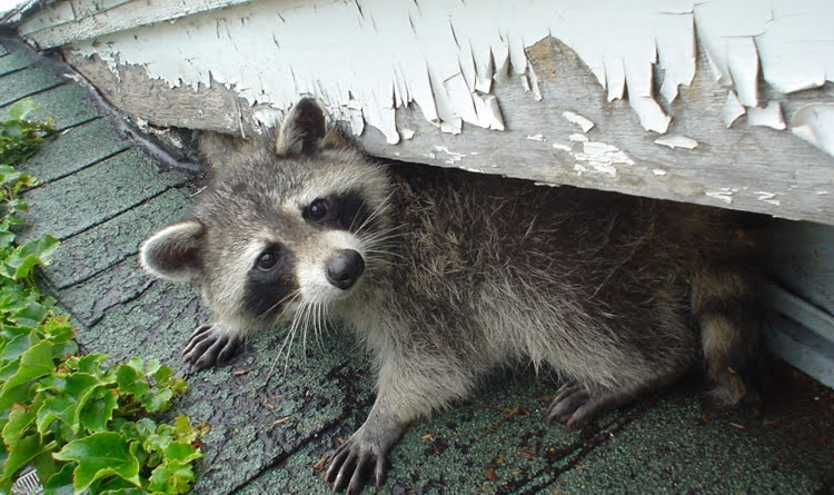 Raccoon in Backyard