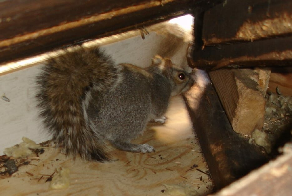 How To Deter Squirrels From The Attic