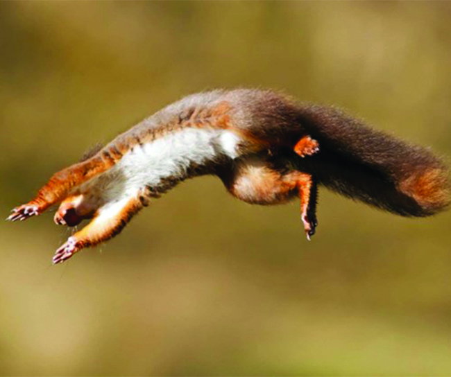 red-squirrel-jumping-c-wright-wtml