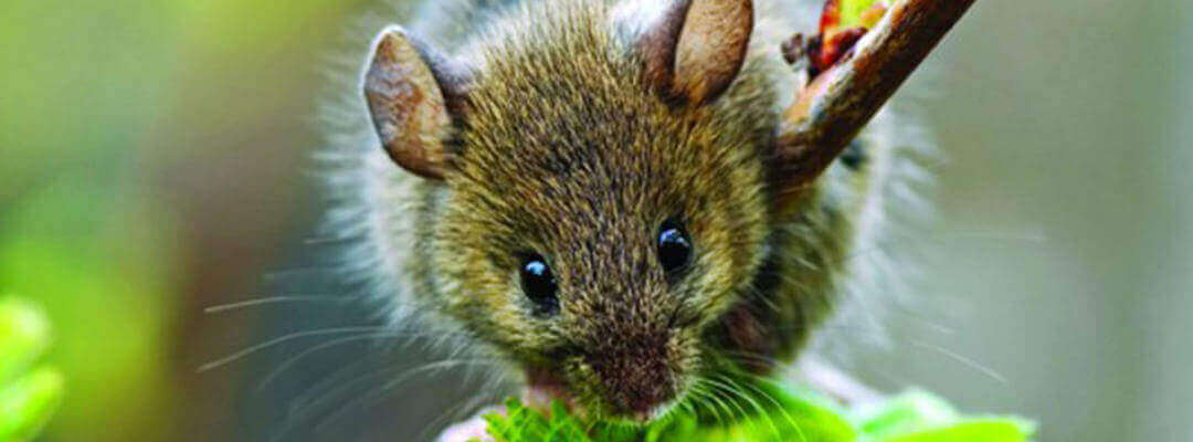 Skedaddle Humane Wildlife Control | Services | Thorough Mice