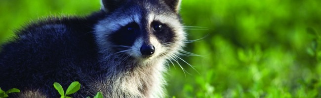 Raccoon photo