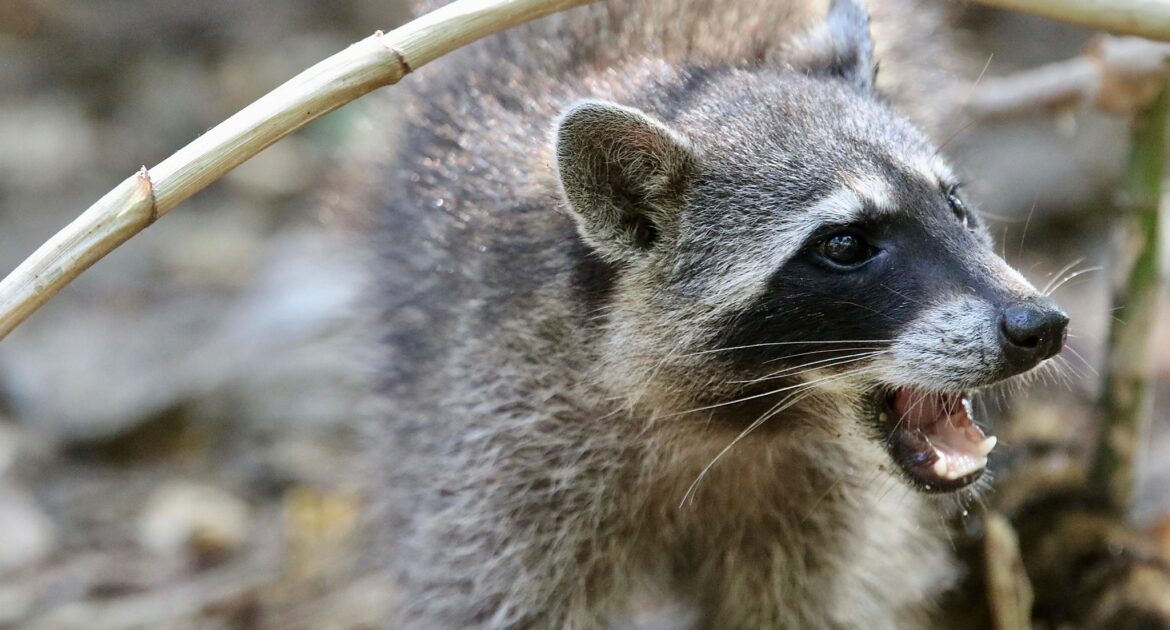How To Tell If A Raccoon Is Rabid