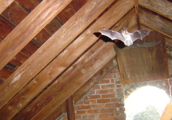 bats flying around an attic