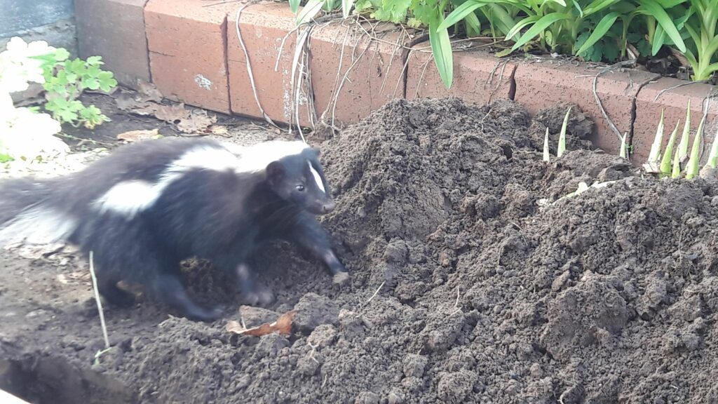 Skunk in ground