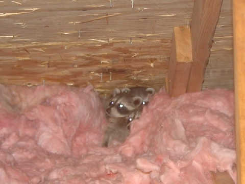 A family of raccoons in an attic
