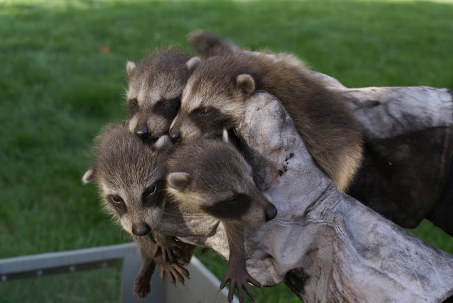 A litter of baby raccoons removed from an attic