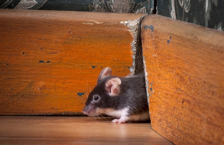 Common Rodents In Houston Plus Prevention Tips