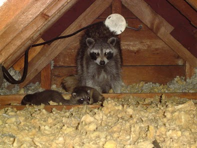 A mother raccoon and her babies in the attic