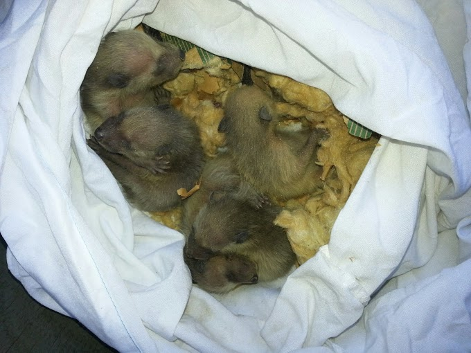 A litter of raccoon babies removed from an attic