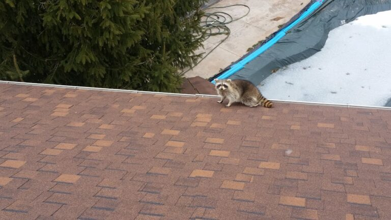 Raccoons easily access roofs and find their way into the attic from there