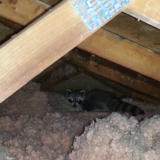 raccoon in attic