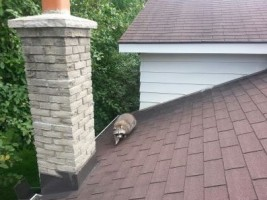 raccoon_roof