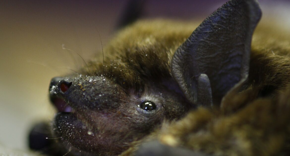 Image of an adult bat