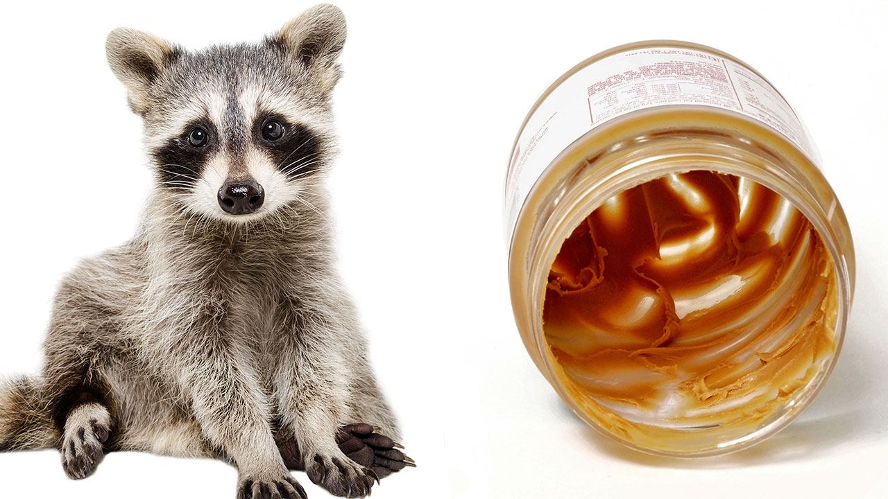 Image of a raccoon alongside a plastic jar trash