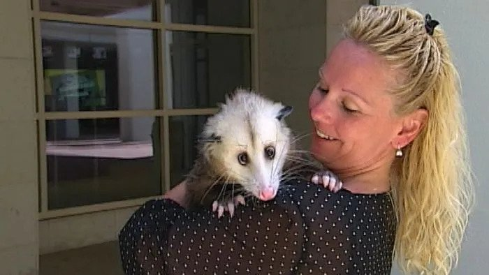 Possum as pet held by a lady