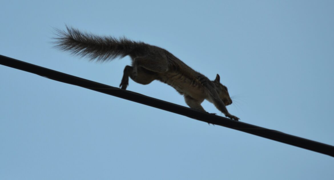 Squirrel running on utility line
