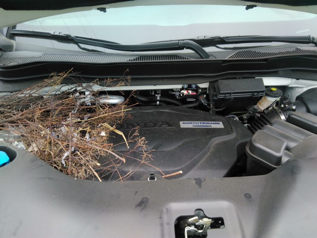 Squirrel nest under hood