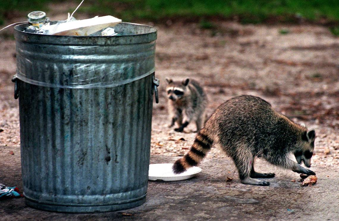 Raccoons vs garbage
