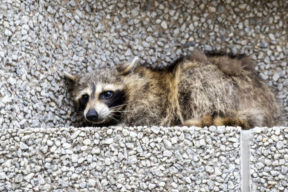 Raccoon Distemper