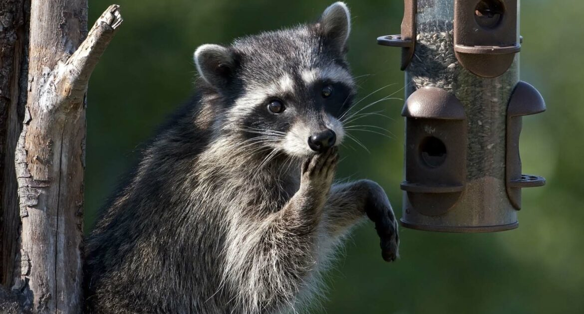 Raccoon Eating - Feature Image