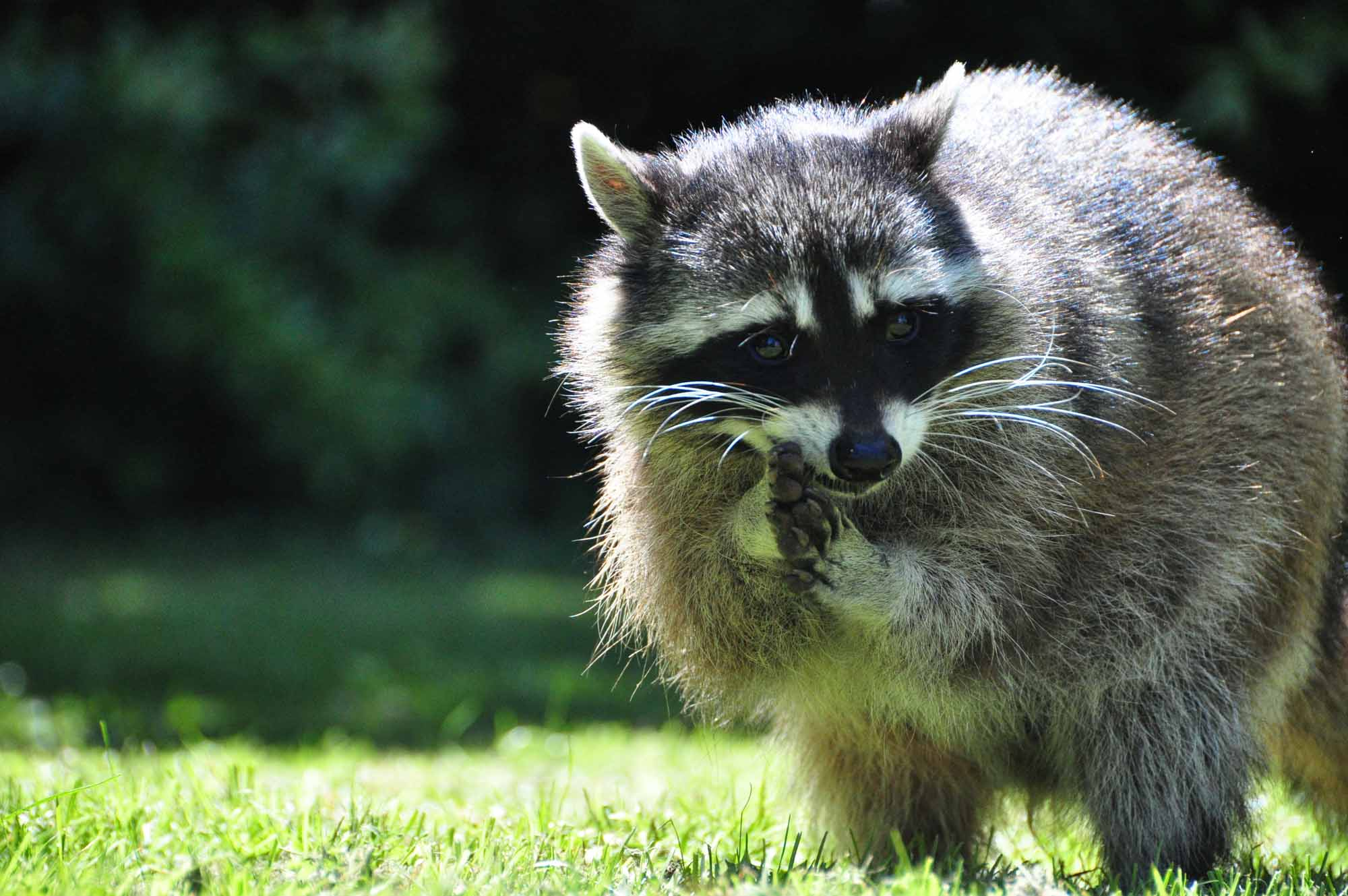 Raccoon - Featured Image