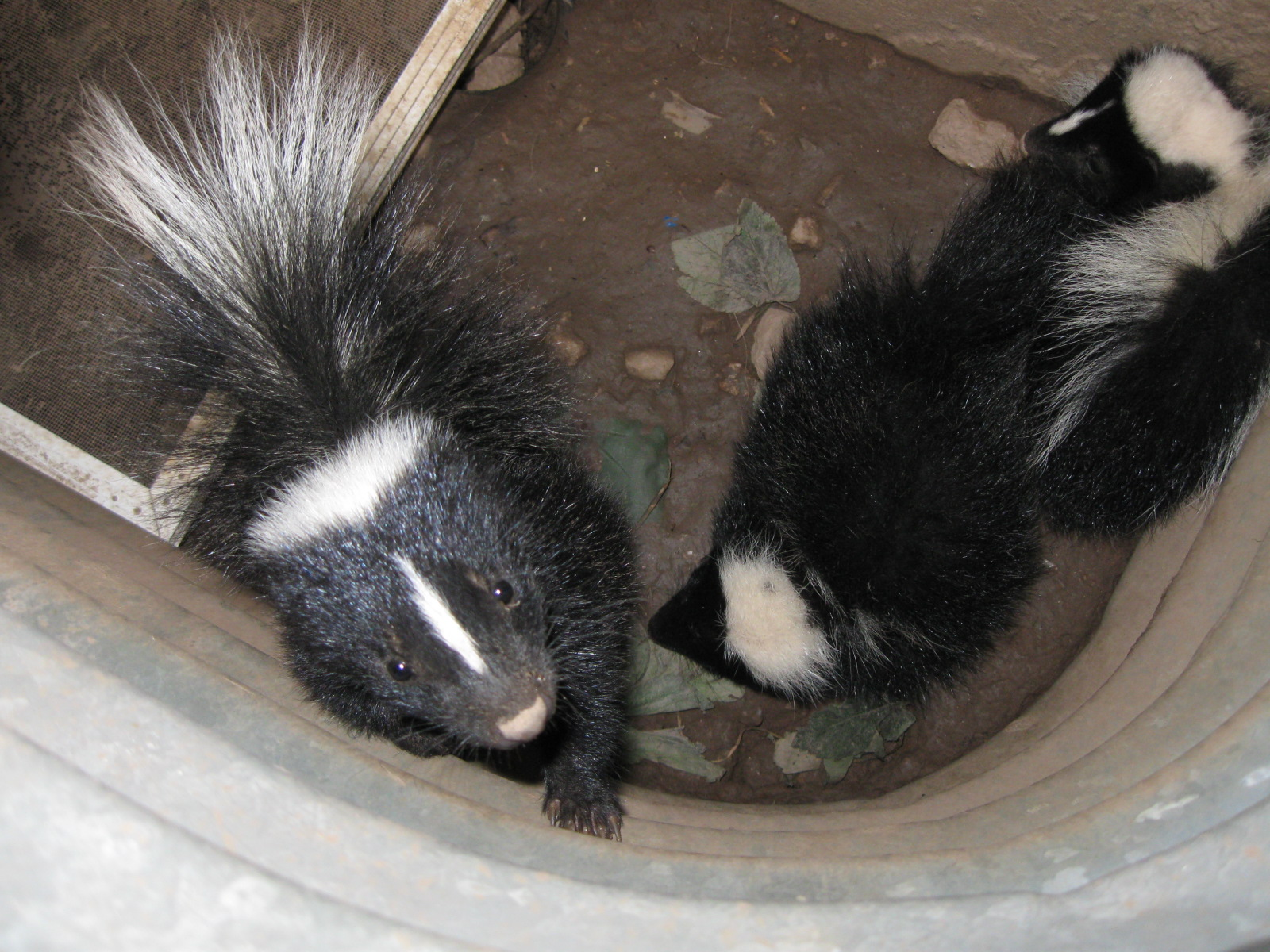 Skunk - Feature Image