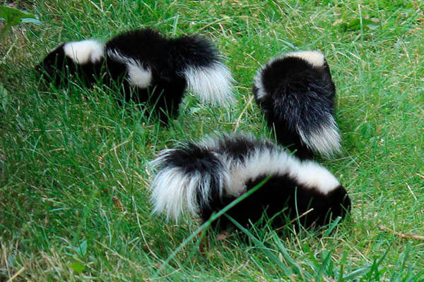 Skunk Featured Image