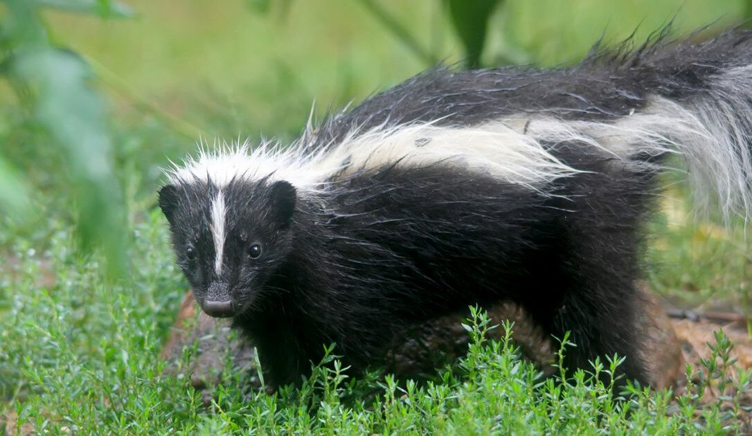 Skunk - Featured Image
