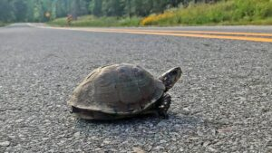 Turtle on the Road