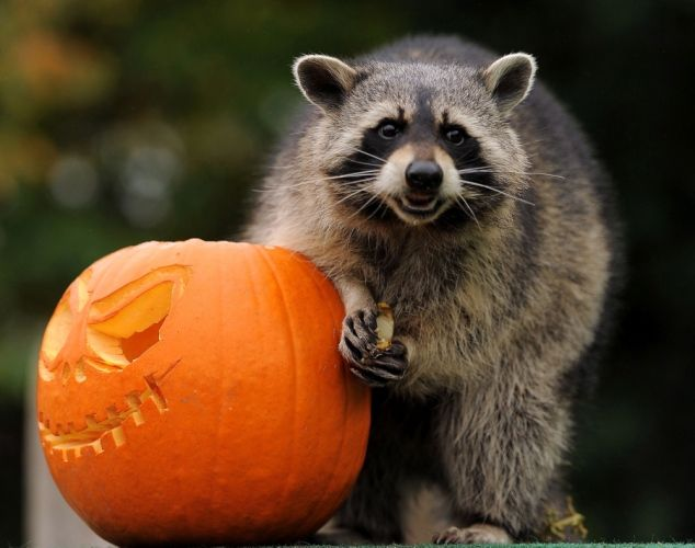 Raccoon Halloween