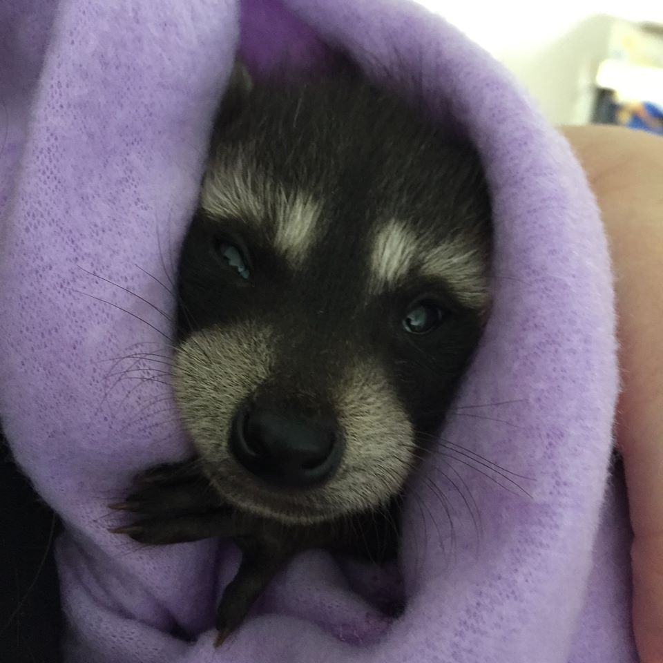Raccoon in Blanket