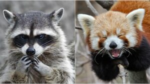 Raccoon vs Red Panda