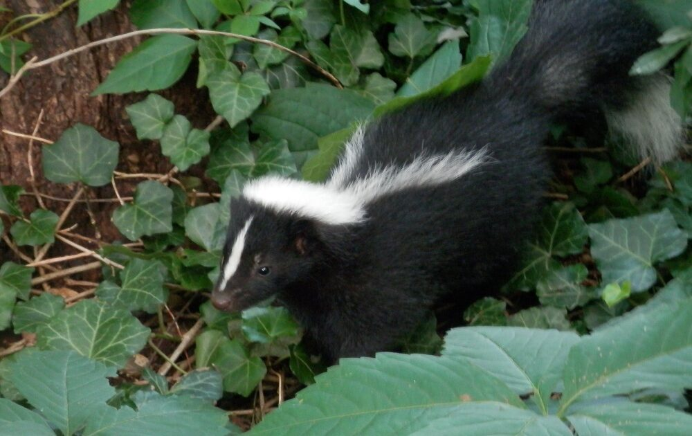 Skunk Feature Image
