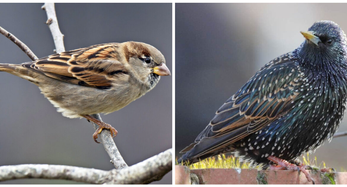 Sparrow and Starling Comparison