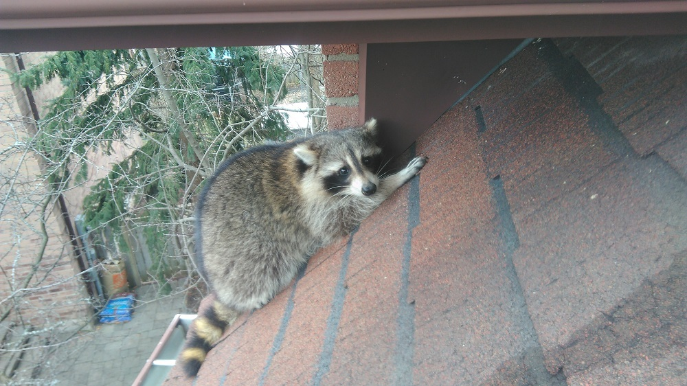 Are Raccoons Scared of Anything