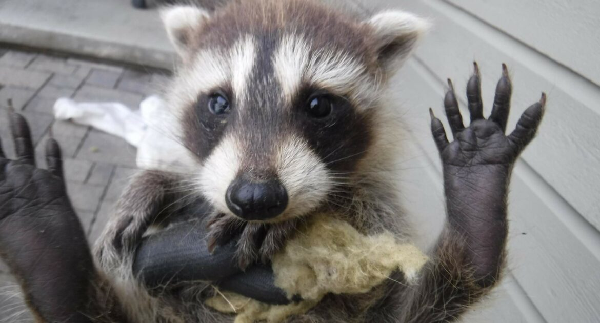 Compassion for Raccoons