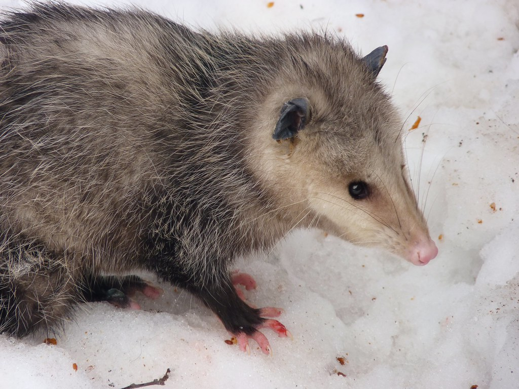 Frostbite - Opossum in Snow