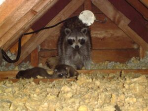 Raccoon Family in the Attic