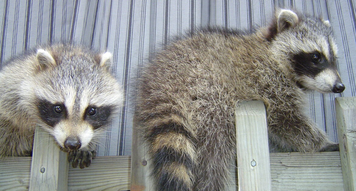 Raccoon Feature Image