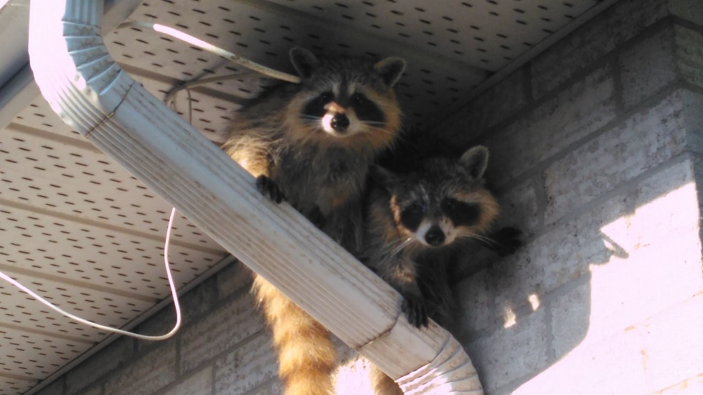 Raccoon Featured Image