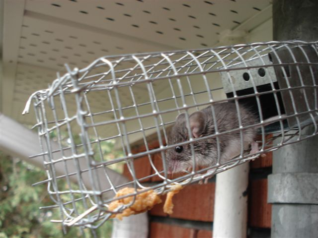 Trapped Mouse Featured Image