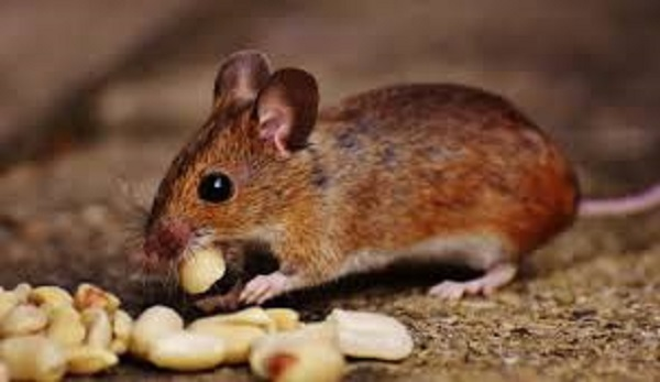 Mouse with Food