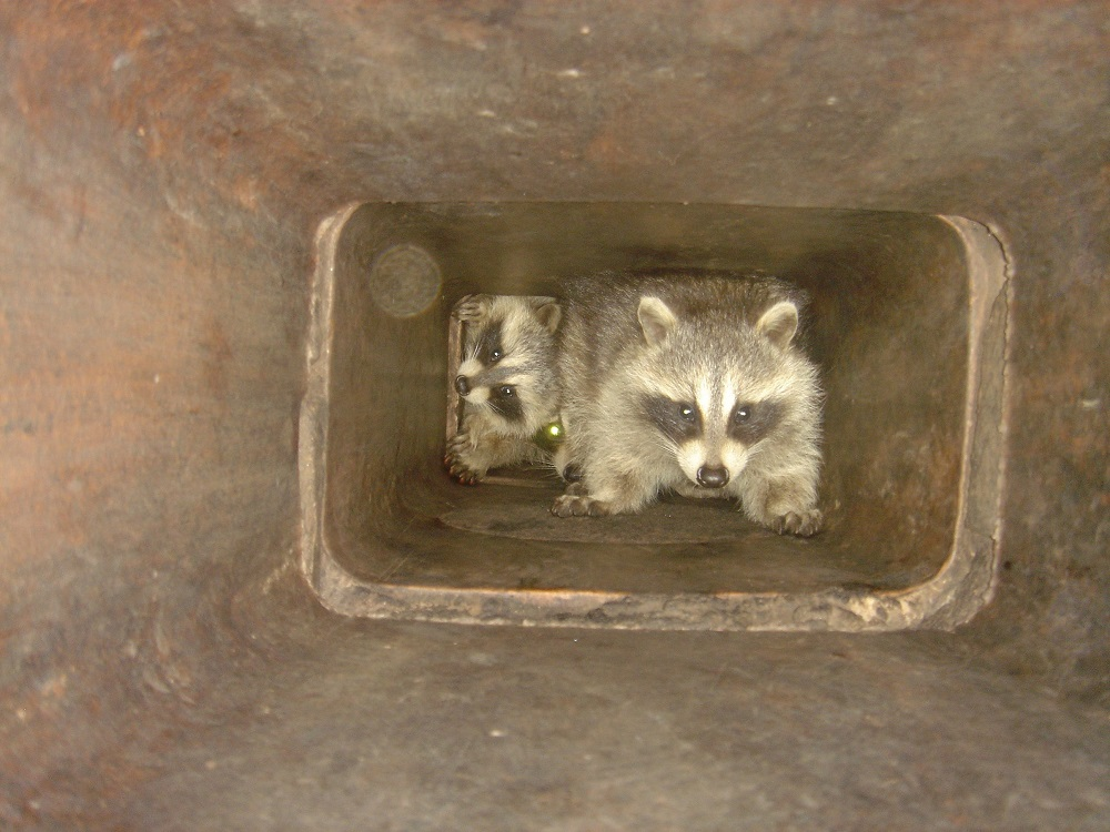 Raccoon in Chimney Featured Image
